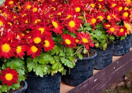 red flower in pot in flower garden . photo