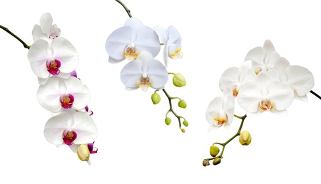 Belle orchid�e blanche qui fleurit sur le fond blanc.