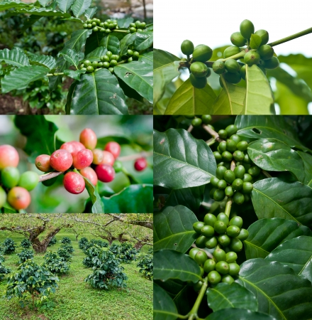 unpicked: coffee beans on coffee tree.