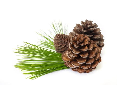 Pine cones with  branches isolated on white background. photo