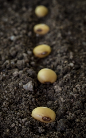 seedling of soybean in the ground