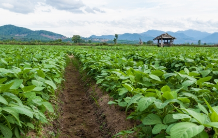 soy beans  plants in a cultivated farmers.
