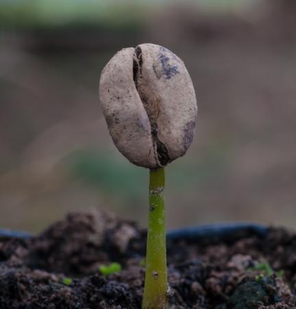 コーヒーの植物保育園で実生から成長もやし。