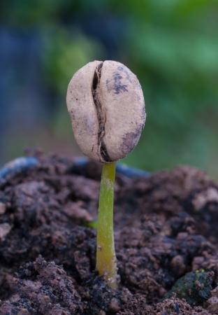 arbol de cafe: caf?rote crecimiento de las pl?ulas en los viveros de plantas.