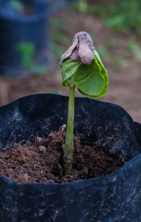 coffee sprout growing from seedling in Plant nurseries.