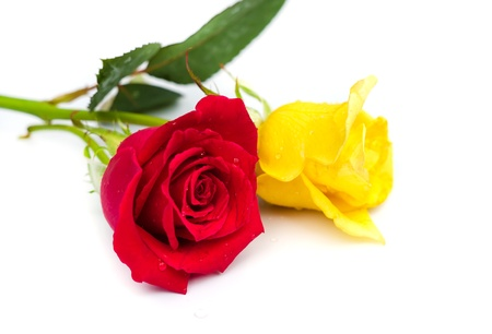 Beautiful blomming red and yellow  rose isolated on white background.