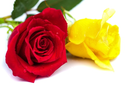 blomming: Beautiful blomming red and yellow  rose isolated on white background.