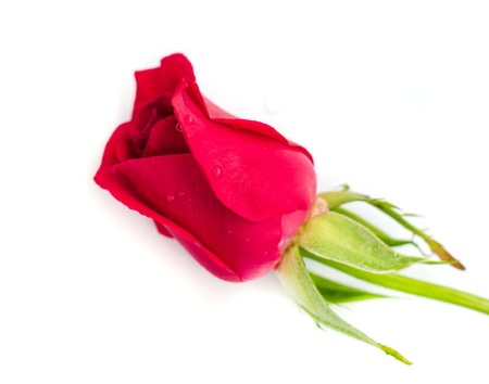 blomming: Beautiful blomming red rose isolated on white background. Stock Photo