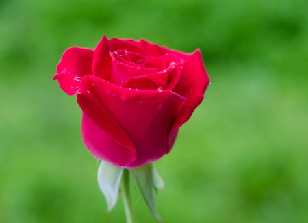 Beautiful blomming red rose on green nature background. Stock Photo