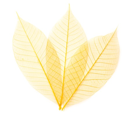 dried color  leaf  transparent    isolated on white.