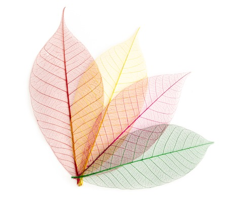 dried color  leaf  transparent    isolated on white. photo