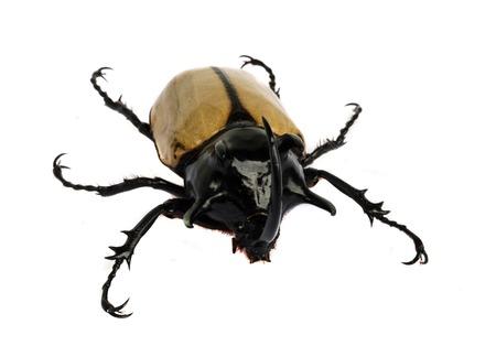 rhino beetle bug isolated on white background.