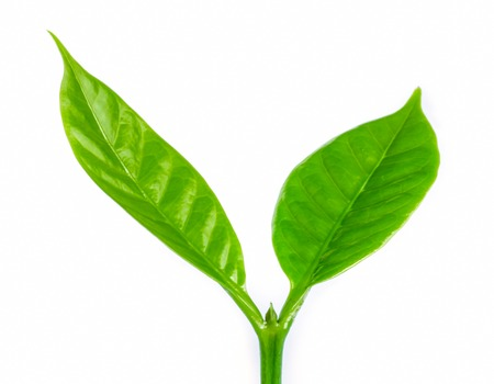 Young green sprout with leaf of coffee tree.