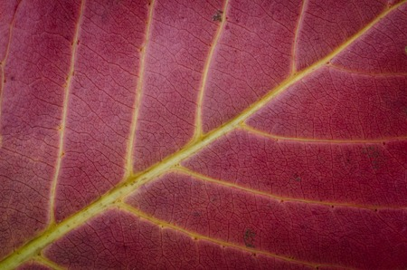 close up of red Leaf texture background . photo