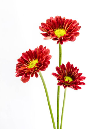 beautiful red  flower on a  white background. Stock Photo - 23031849