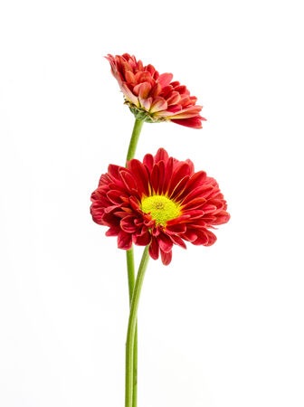 beautiful red  flower on a  white background. photo