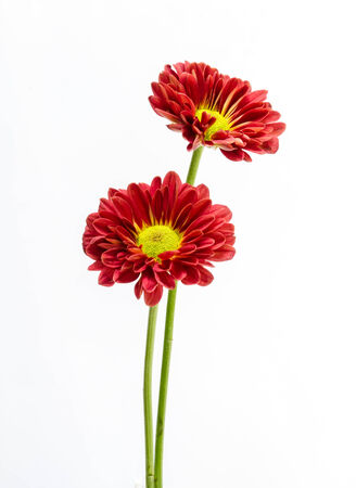 beautiful red  flower on a  white background. Stock Photo - 23031851
