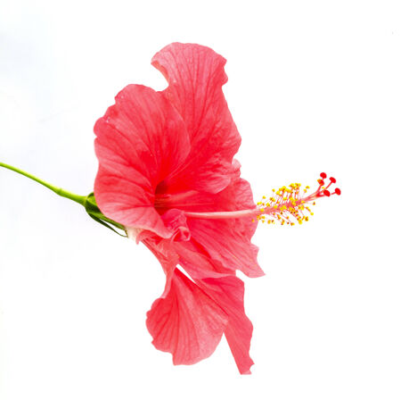 Close up of Hibiscus rosa sinensis  flower Stock Photo - 23031859