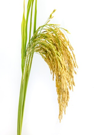 rice crop: paddy rice seed  on a  white background