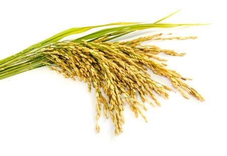 흰색 배경에 패 디 쌀 씨앗