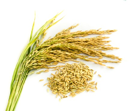 paddy rice seed  on a  white background