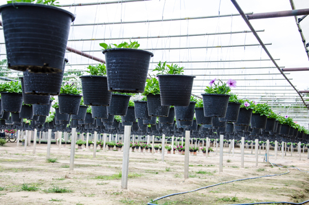 flowers pot nursery  for garden in the greenhouse. photo