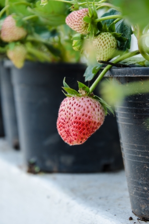 Fresh  strawberry on the plant in a pot. photo