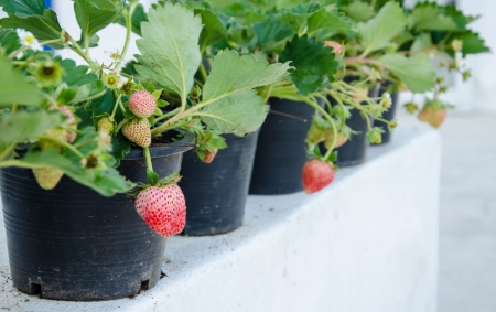 Fresh red strawberry plant in a pot. photo