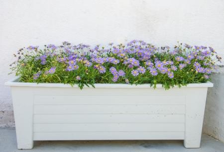 Purple flower  in  flower pot in the garden .