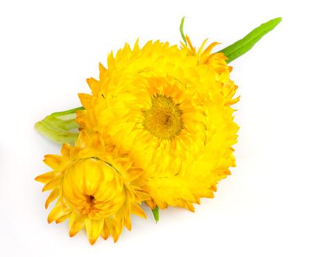 fleur de paille ou �ternel isol� sur fond blanc.