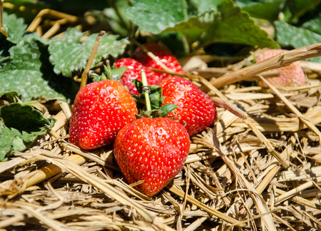 seed plant: Strawberry  on Strawberry Tree In The Garden.