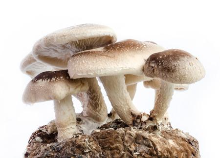Raw Shiitake Mushrooms isolated on white background. photo