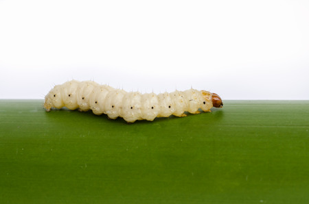 maggot: Bamboo worm ,Chrysalis or bamboo insect on white background. Stock Photo