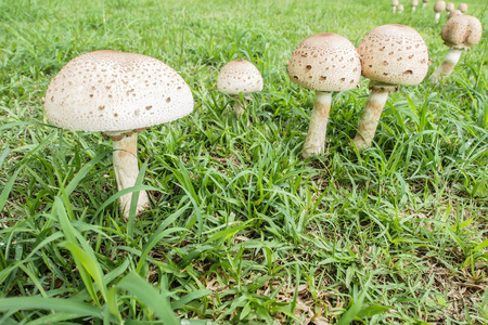 fairy toadstool: A poisonous  mushrooms in the fores t. Stock Photo