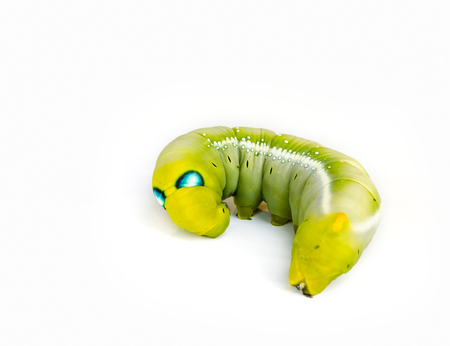 Worm the caterpillars isolated on white background.