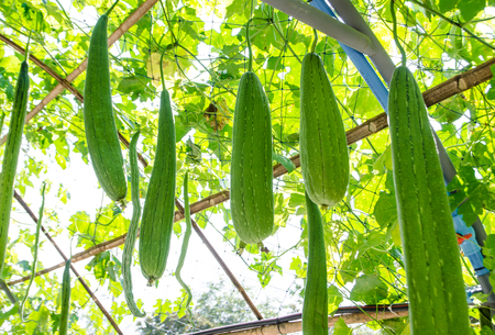 zucchini vegetable: fresh zucchini vegetable hanging in a field. Stock Photo