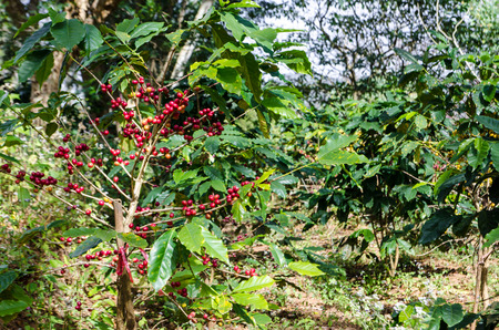 Close up Coffee tree with ripe  in mountains.