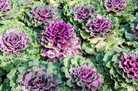 lettuces: Fresh organic green and purple lettuces in  farm . Stock Photo
