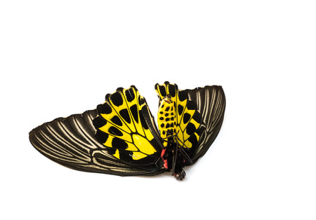 butterflys: Black Butterflys staff open wings on white .