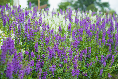 sooth: Field of purple flowers in the garden.
