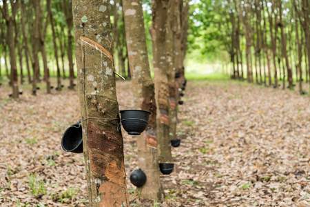 Tapping latex from a rubber tree plantation. Stock Photo