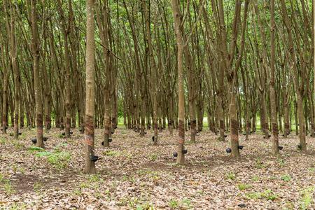 tree plantation: Tapping latex from a rubber tree plantation. Stock Photo