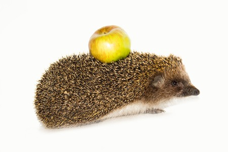 Forest wild hedgehog with yellow apple on the back isolated on white background photo