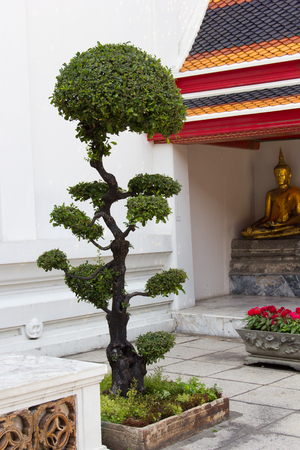 banian tree: Old quality pine bonsai presentation the japanese gardening culture.