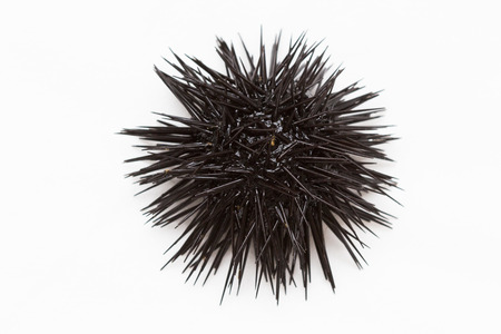 Purple sea urchin from Adritic sea, isolated on white background.
