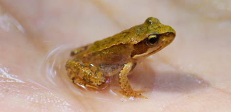 part frog: Close up of a wet brown wood frog