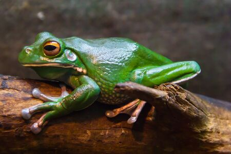 green tree frog: Green Tree Frog with yellow eyes on tha tree branch