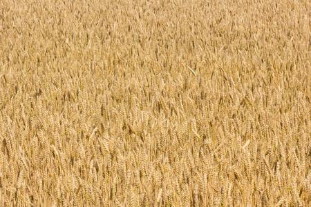 the ripe wheet field background Stock Photo
