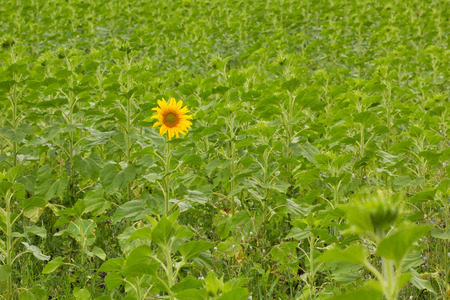 Be the first concept. first blooming sunflower on a green field.