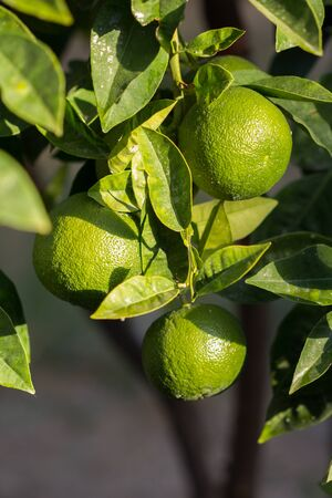 Lime tree with three lime fruits and leaves. Stock Photo